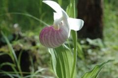 purdon-sun-in-orchid-1